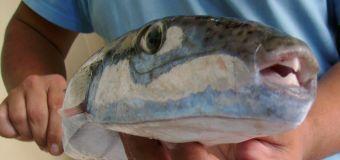 Рыбы Фугу в Черном море