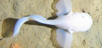 Самая глубоководная рыба найдена в Марианской впадине