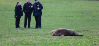 В Англии заблудился тюлень