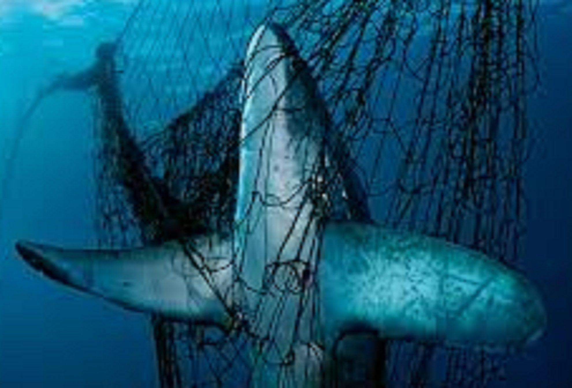 Акула морская лисица в сетях. Фото  Brajana-Skerri