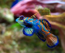 Рыбка — мандаринка