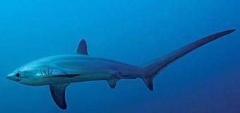 Ученые впервые сфотографировали роды акулы в океане.