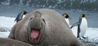 Эпичное нападение пингвина на морского слона.
