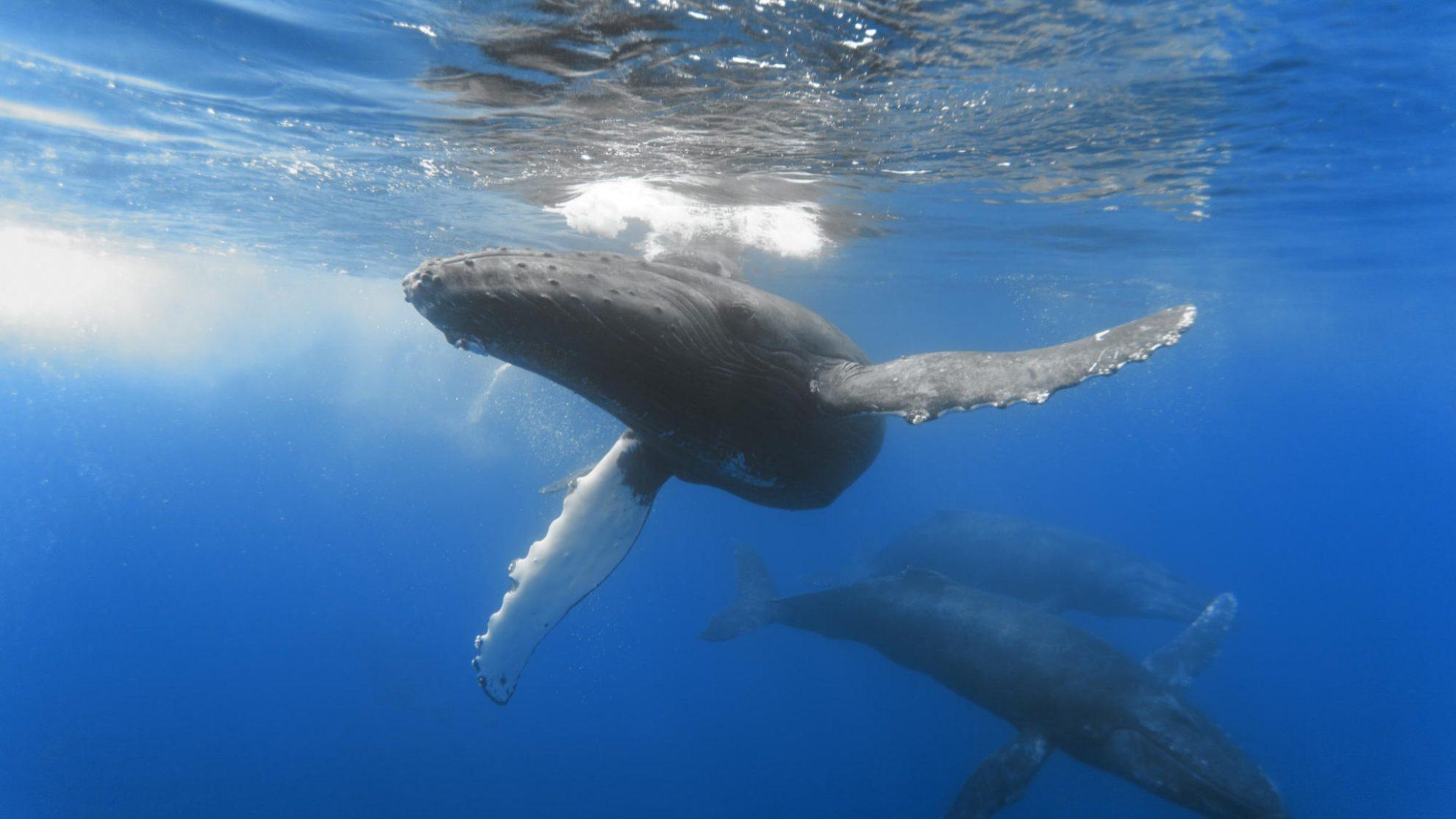 Семья китов у острова Тонго. Автор пользователь grrt55