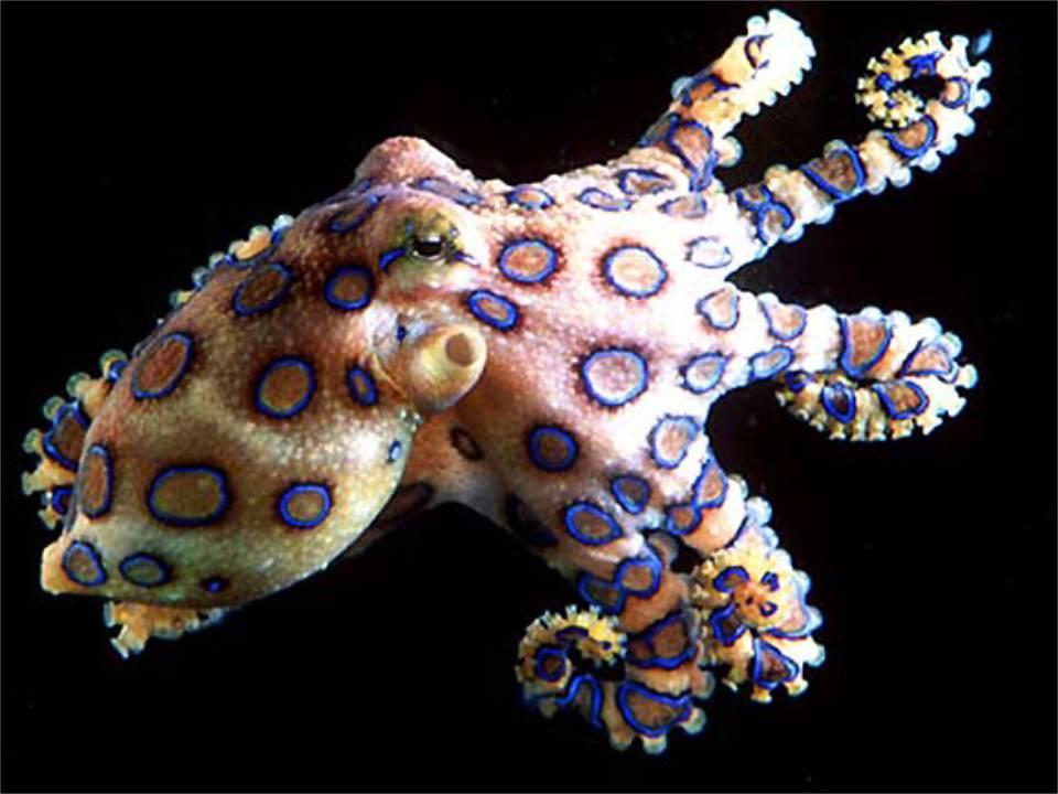 Ядовитый осьминог (blue ringed octopus)