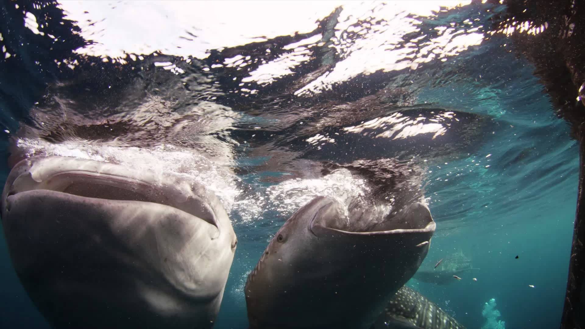 a study on the beast of the sea the whale shark From swimming sea turtles to cats that take with the tail fin of a whale shark cable used his gopro hero 4 to snap a photo of this mountainous beast.