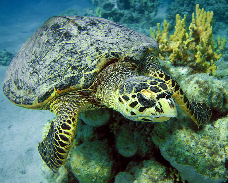 Бисса - морская черепаха