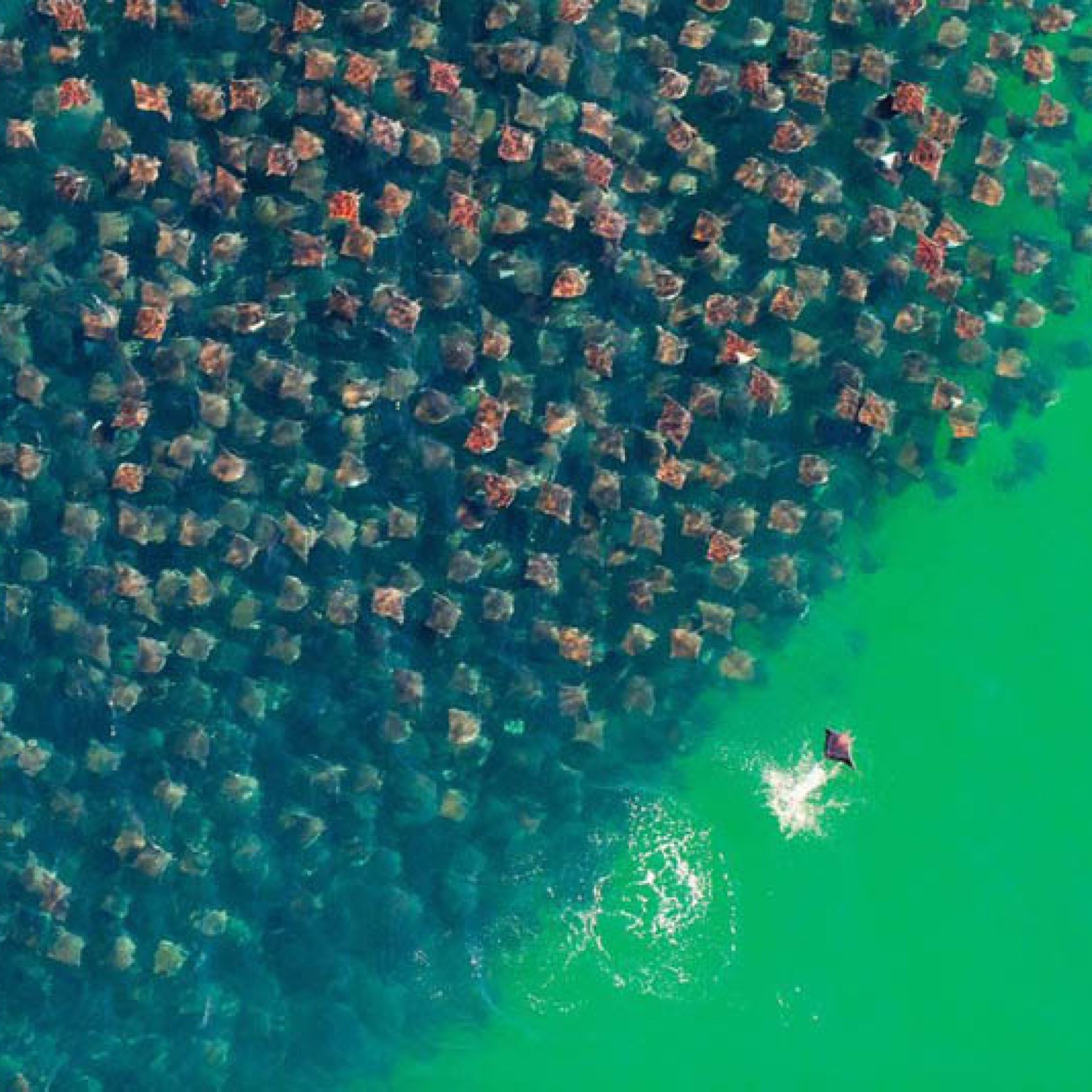 Полет devil rays