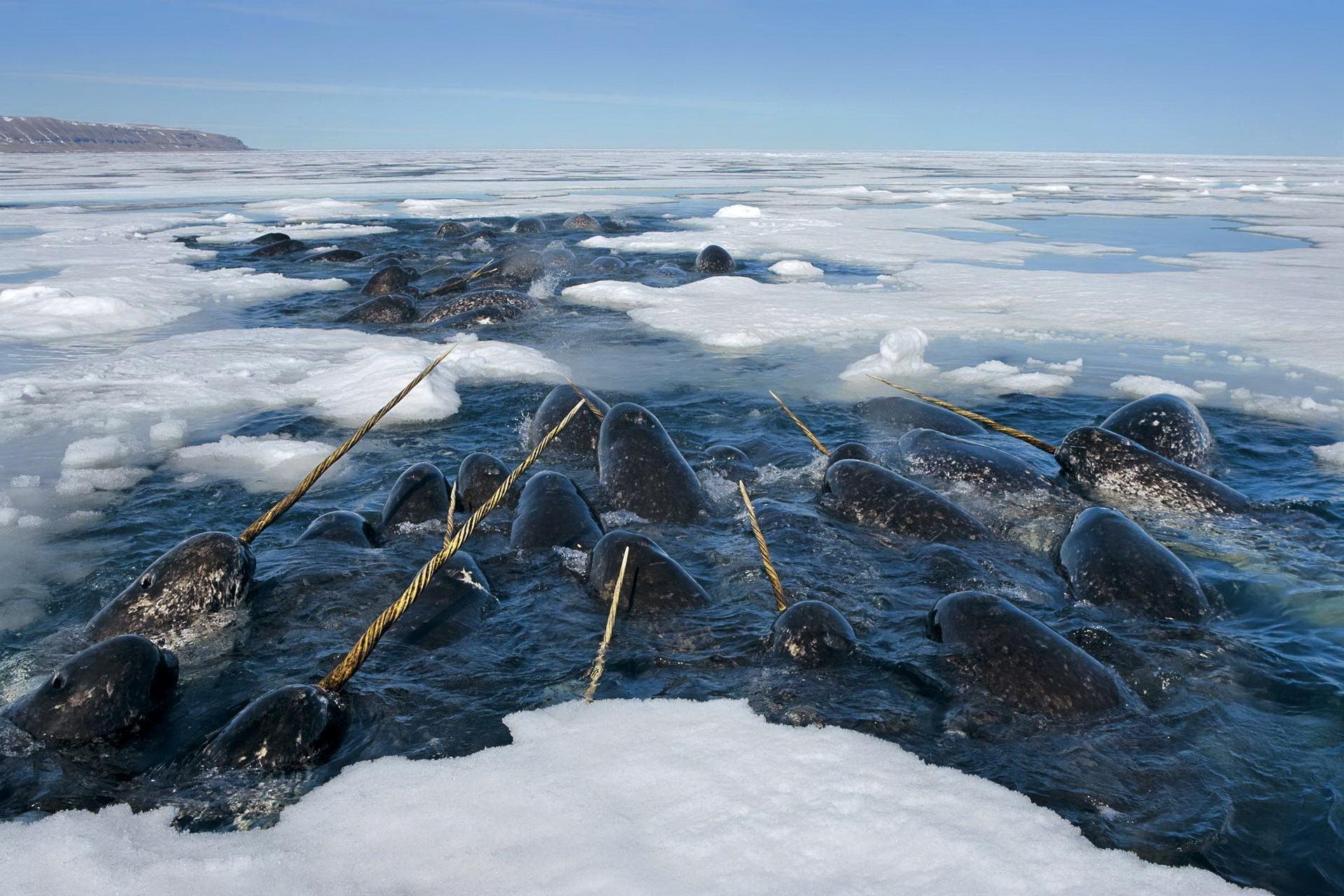 Сезонная миграция нарвалов в  Арктике