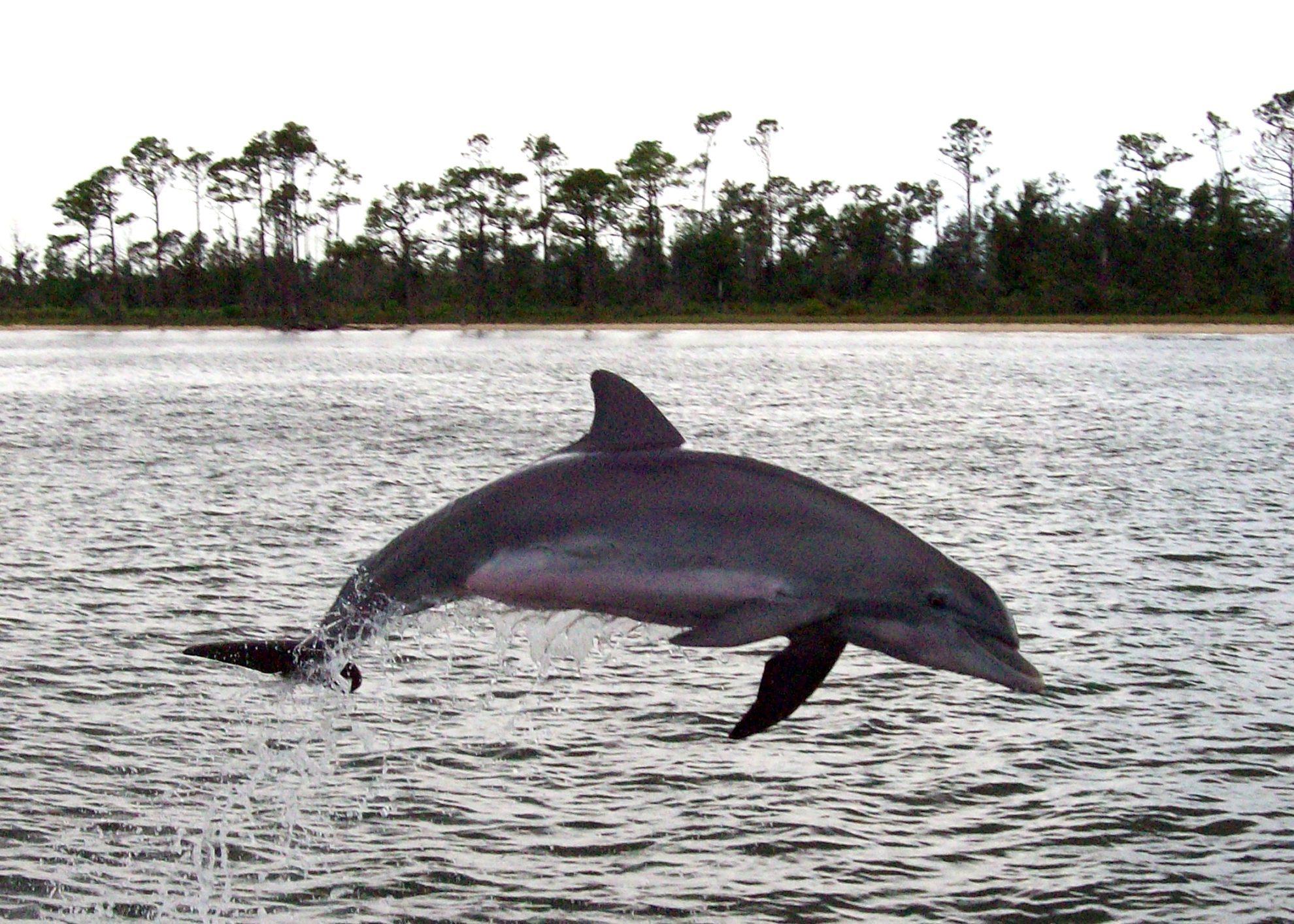 Атлантический белобокий дельфин (Lagenorhynchus  acutus)