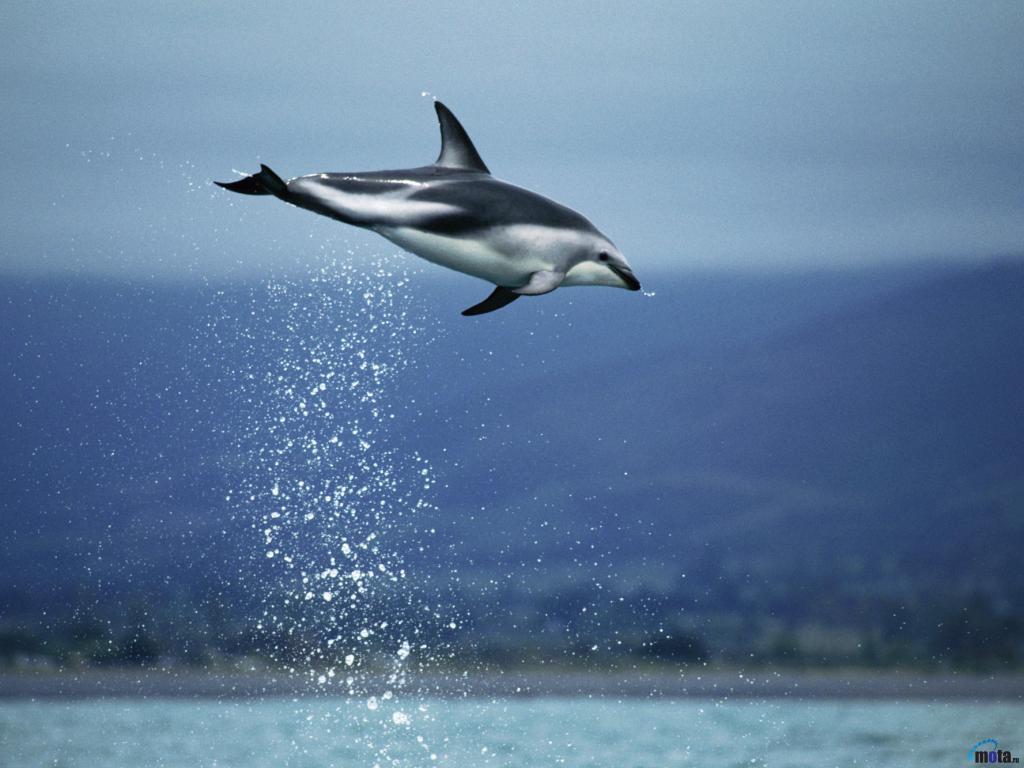 Атлантический белобокий дельфин (Lagenorhynchus  acutus) 1