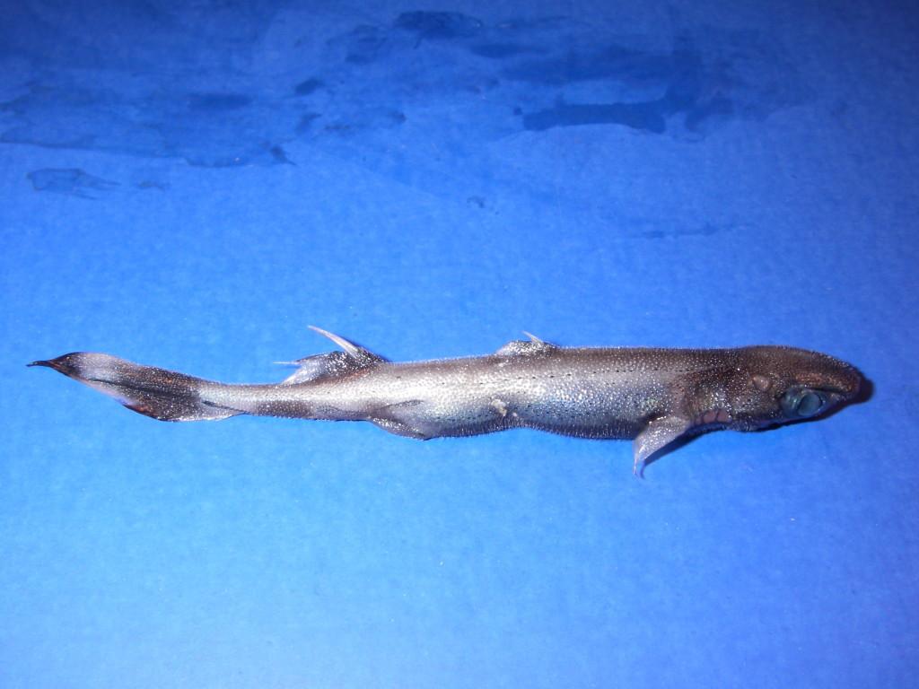 Глубоководная акула Etmopterus perryi