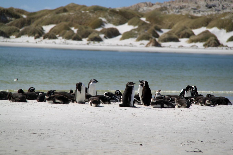 Пингвины на Фолклендских островах.