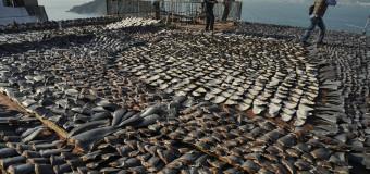 200 000 акульих плавников конфисковано в Эквадоре.