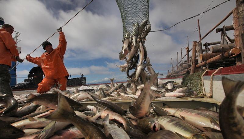 Запрет дрифтерного промысла перенаправит до 30 тыс. тонн лосося к береговой линии.
