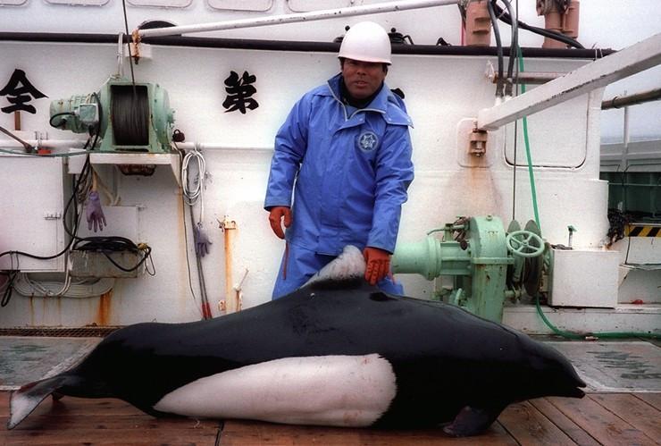 Дельфины так же становятся жертвами дрифтерного промысла