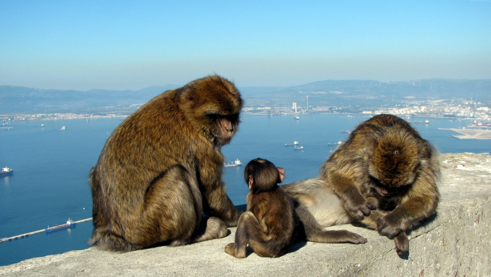 Семейство обезьян, берберийских макак, сидя в скале. Гибралтар.
