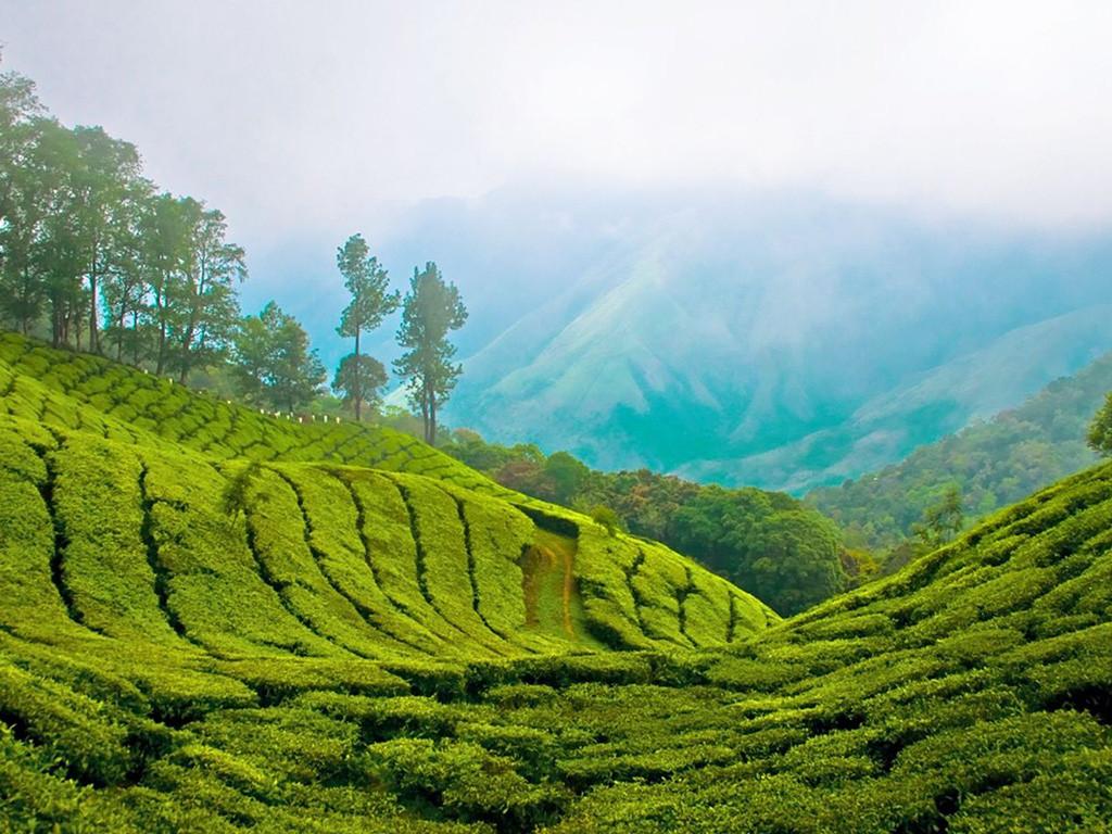 Чайные плантации Лаос.