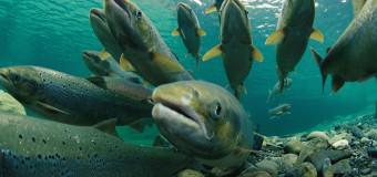 Рыбакам Камчатки установили дополнительные объемы вылова тихоокеанских лососей
