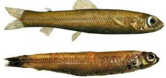 У берегов Гренландии была поймана неизвестная рыба.