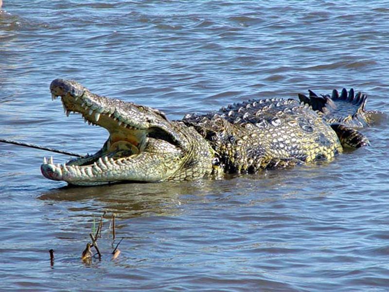 крокодл