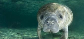 Морским коровам больше не грозит вымирание
