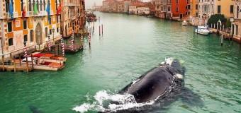 Кит заблудился в Венеции