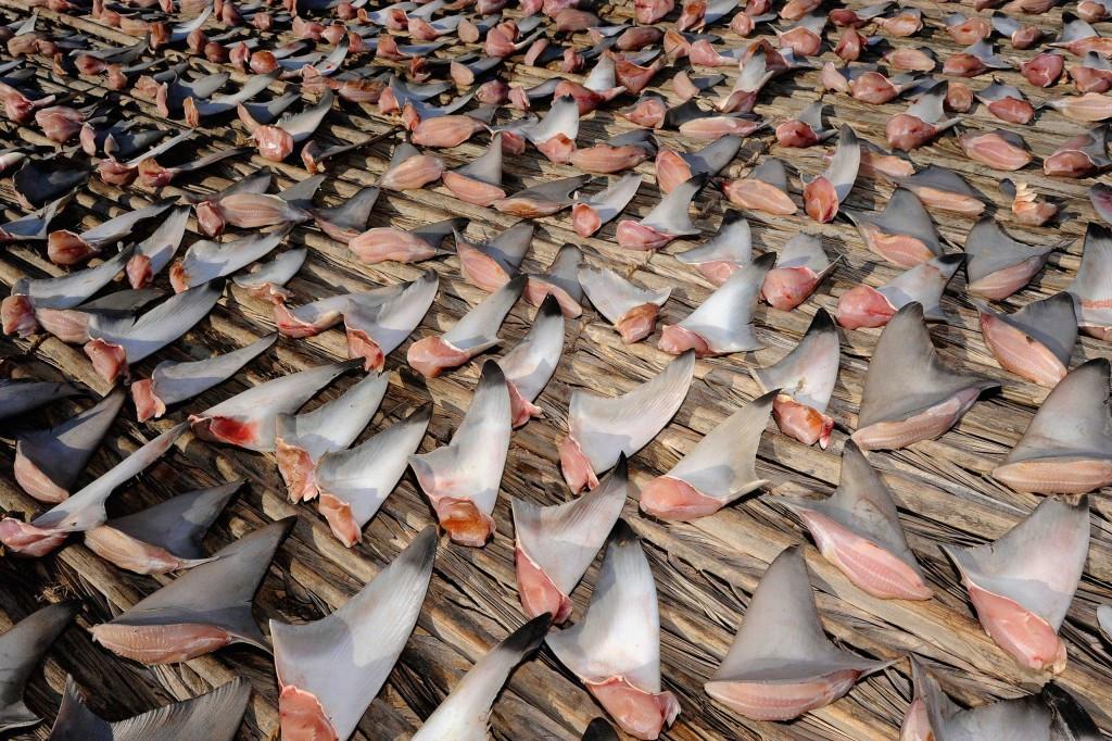 Торговля акульими плавниками. // Фото Thomas Peschak.-