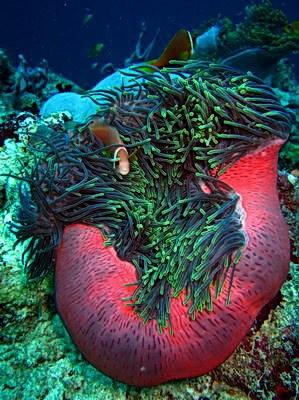 Актинии - цветы Океана Фото: Александр Аристархов