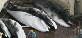 Японские китобои забили 300 китов в научных целях.
