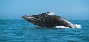 На Сахалине можно будет понаблюдать за серыми китами