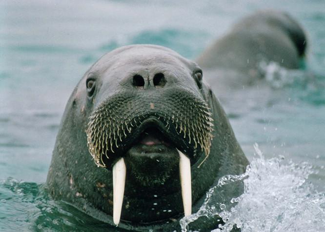 Arctic Walrus 2