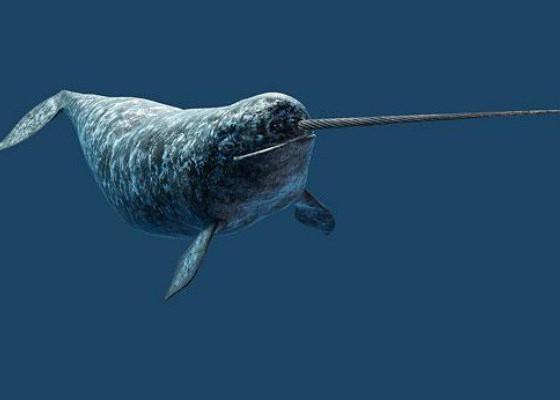 морской единорог нарвал в арктике ocean media