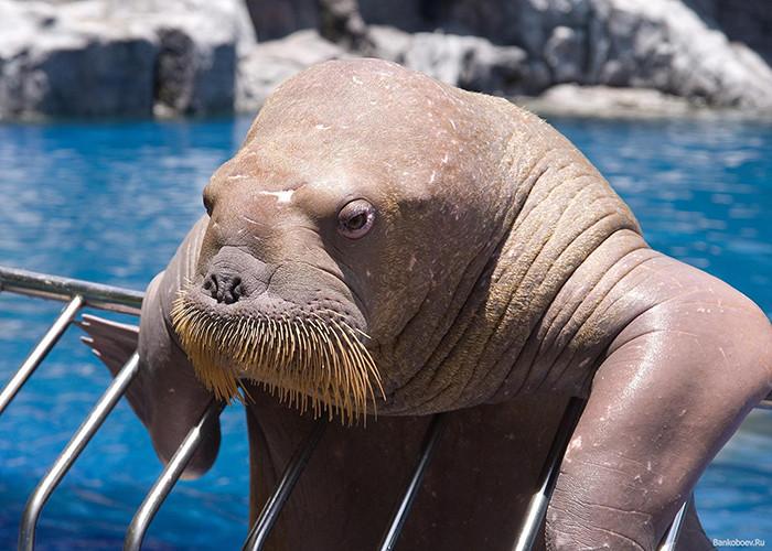 огромные морские моржи на ocean media