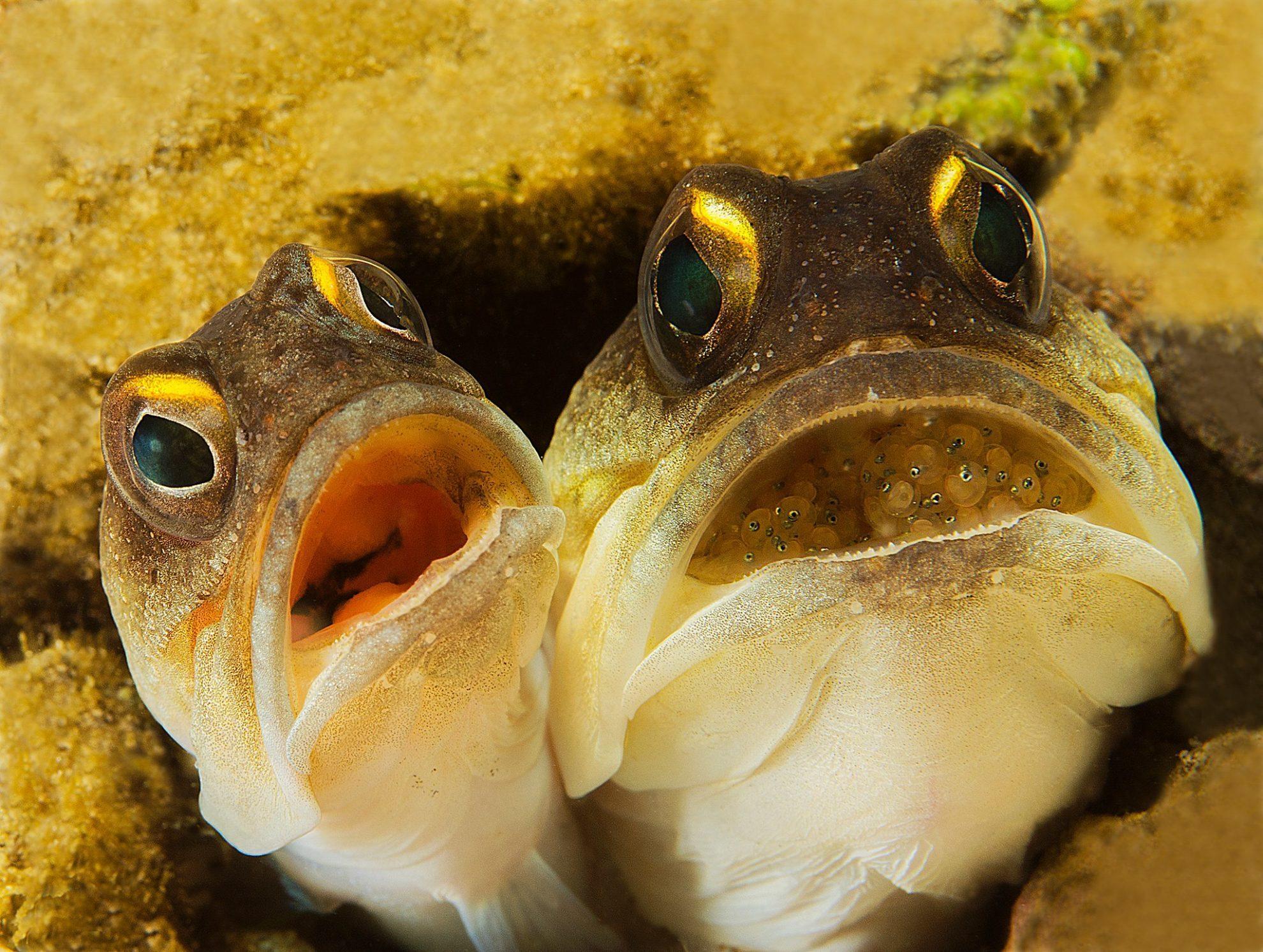 Фотография рыбок опистогнатусов