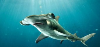 Почему акула-молот плавает на боку?