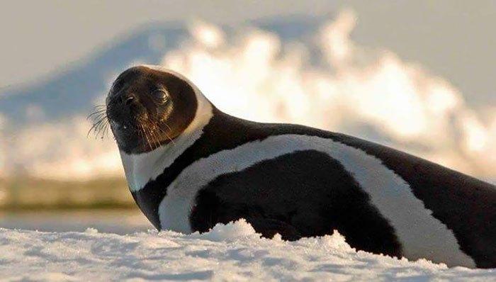 Редкий полосатый тюлень