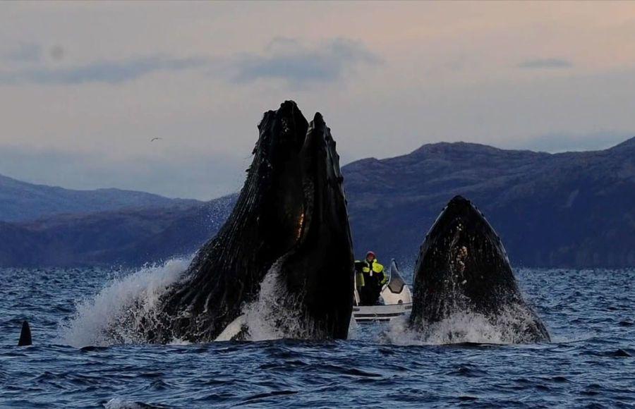горбатый кит чуть не проглотил фотографа