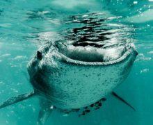 Как живут китовые акулы на Филиппинах?