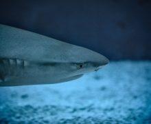 Ученые выяснили, почему акулы редко болеют раком