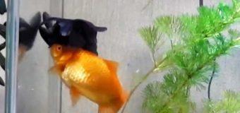Золотая рыбка помогает выживать своему другу