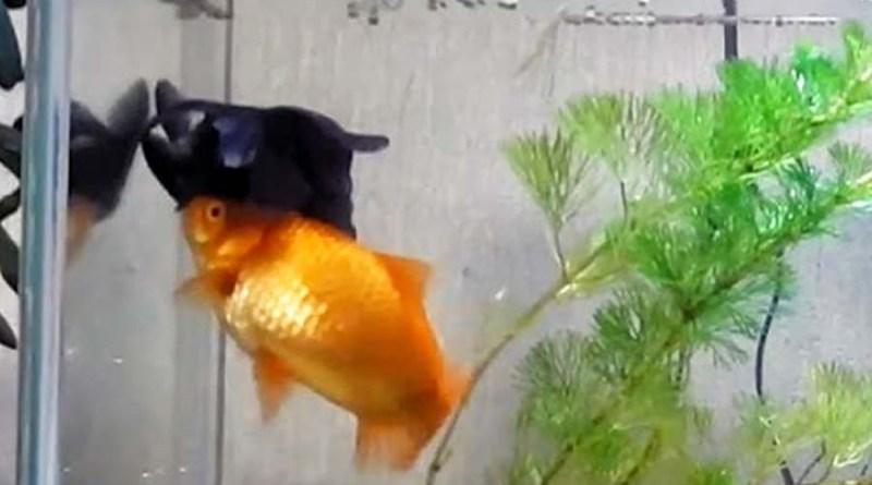 Золотая рыбка спасает друга по аквариуму