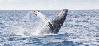 Зачем киты выпрыгивают из воды?