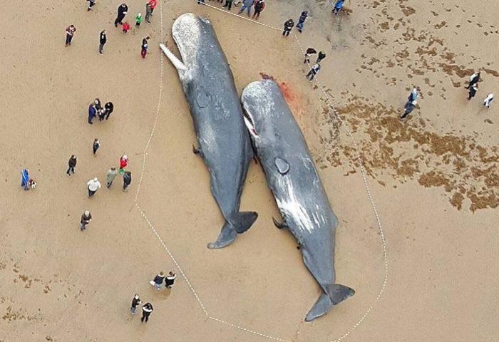 29 мертвых кашалотов были найдены на берегу Северного моря в Германии