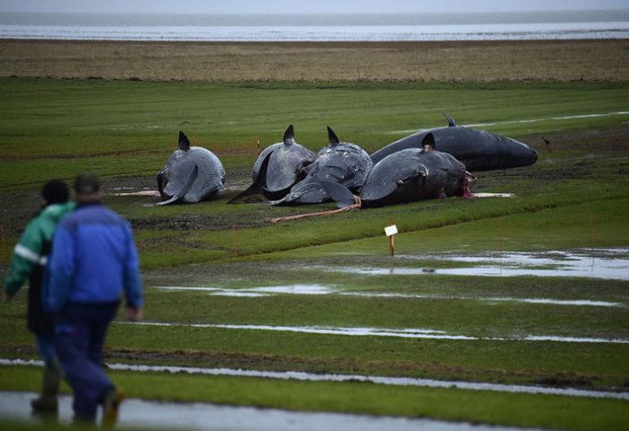Среди мусора, найденного в желудках этих гигантских млекопитающих, были 13-метровая сеть и 70-сантиметровый кусок пластика от автомобиля