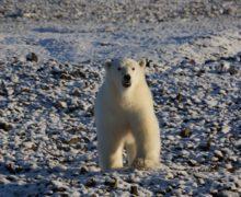 На Земле Александры участились встречи с белыми медведями