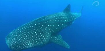 Удивительный подводный мир Галапагосских островов