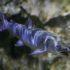 У рыб в экспозиции «Река Амур и озеро Ханка» Приморского Океанариума — замечательный сосед