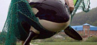 11 косаток и 90 белух остаются в «китовой тюрьме» Приморья