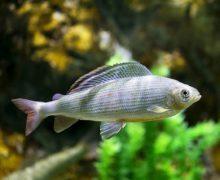 Более 200 особей пресноводных рыб привезли сотрудники Приморского океанариума из экспедиции